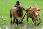 Uprawa ryżu na Goa