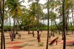 Zbiory daktyli na Goa