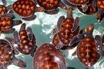 Młode żółwie na Malediwach