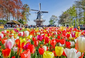 Amsterdam i festiwal tulipanów