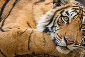 Indie - Ślady tygrysich łap na piasku