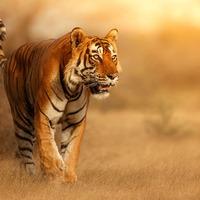 Indie - Złoty Trójkąt z tygrysem
