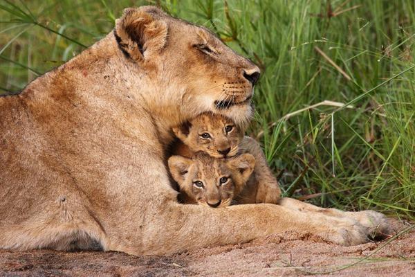 Park Krugera - Wielka Piątka - zwiedzanie RPA