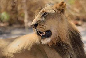 Senegambia - spacer z lwami