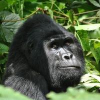 Uganda- Poznajemy goryle