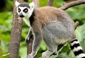 Z wizyta u lemurow
